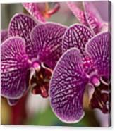 Orchid Ascda Laksi Canvas Print