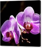 Orchid At Fairchild Gardens Canvas Print