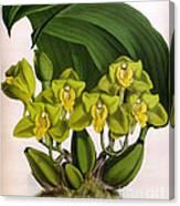 Orchid, Bifrenaria Aurantiaca, 1891 Canvas Print