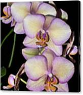 Orchid Blossoms I Canvas Print