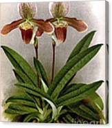Orchid, C. Ashburtonioe Superbum, 1891 Canvas Print
