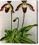 Orchid, C. Oenanthum Superbum, 1891 Canvas Print