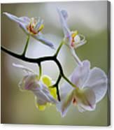 Orchid C Canvas Print