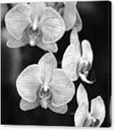 Orchid Cluster Close-up Canvas Print
