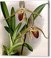 Orchid, Cypripedium Elliottianum, 1891 Canvas Print