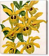 Orchid, Dendrobium Chrysotis, 1891 Canvas Print