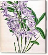 Orchid, Dendrobium Transparens, 1891 Canvas Print
