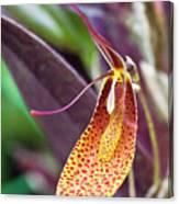 Orchid Flower - Restrepia Radulifera Canvas Print