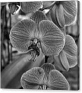Orchid Glory Black And White Canvas Print