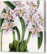 Orchid, O. Alexandrae Plumatum, 1891 Canvas Print