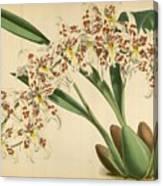 Orchid Odontoglossum Andersonianum Grenada  Canvas Print