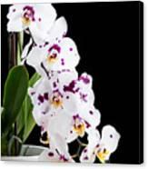 Orchid Phalaenopsis White Flower Canvas Print