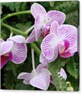 Orchid Pink Canvas Print