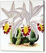 Orchid, Pleione Lagenaria, 1880 Canvas Print