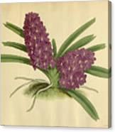 Orchid Saccolabium Ampullaceum  Canvas Print