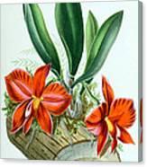 Orchid, Sophronitis Grandiflora, 1880 Canvas Print
