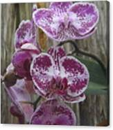 Orchid With Purple Patches Canvas Print
