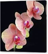 Orchids Reach For The Rainbow Canvas Print