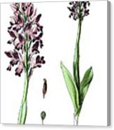 Orchis Militaris, The Military Orchid Canvas Print