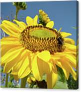 Oregon Gardens Silverton Sunflower Honeybee Baslee  Canvas Print
