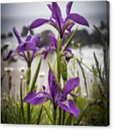 Oregon Iris At The Beach Canvas Print