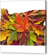 Oregon Maple Leaves Mixed Fall Colors Background Canvas Print