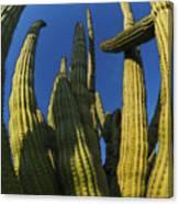Organ Pipe Cactus Arizona Canvas Print