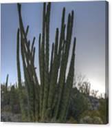 Organ Pipe Cactus At Sunset Canvas Print