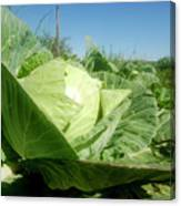Organic White Cabbage  Canvas Print