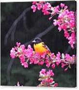 Oriole On Crabapple Canvas Print