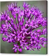 Ornamental Allium Canvas Print