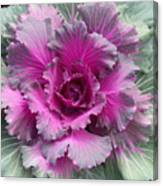 Ornamental Red Cabbage Canvas Print