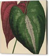 Ornamental Yam  Dioscorea Discolor Canvas Print