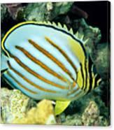 Ornate Butterflyfish Canvas Print