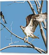 Osprey And Black Billed Magpie Canvas Print