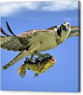 Osprey And Catfish Canvas Print