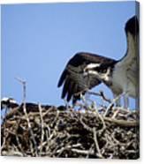 Osprey At Nest-2 Canvas Print