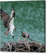 Osprey Bringing Fodd To The Babies Canvas Print