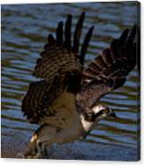 Osprey Catching A Fish Canvas Print