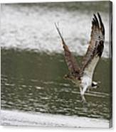 Osprey Dive Canvas Print
