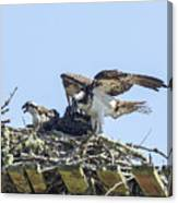Osprey Family Portrait No. 1 Canvas Print