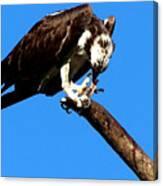 Osprey Feeding 014 Canvas Print