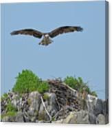 Osprey Flying Over A Bird's Nest Canvas Print