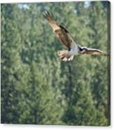 Osprey In Flight 6 Canvas Print