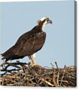 Osprey In Nest Canvas Print
