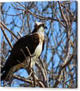 Osprey In Spring Canvas Print