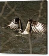 Osprey In The Creek Canvas Print