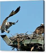 Osprey Landing In Nest Canvas Print