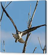 Osprey Launches Head On Canvas Print