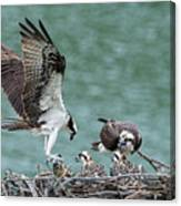 Osprey Male Bring Home The Dinner Canvas Print